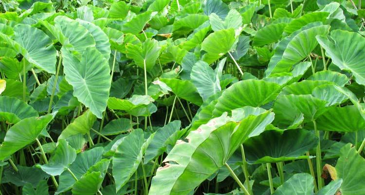 o que é inhame - plantação de inhame